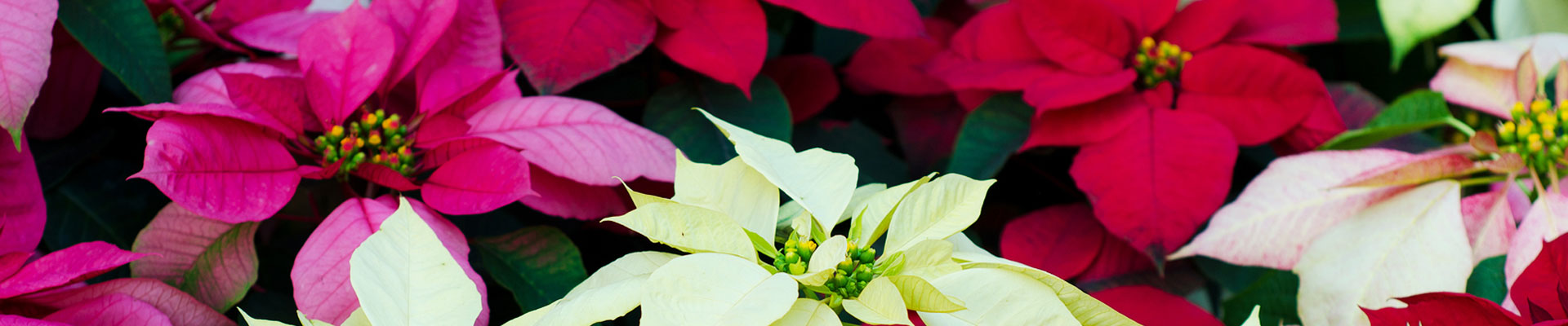 Christmas Houseplants
