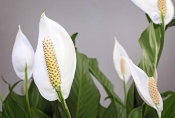 Flowering Houseplants